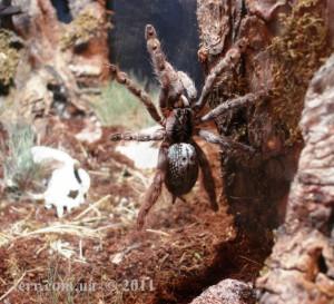 Heteroscodra maculata F